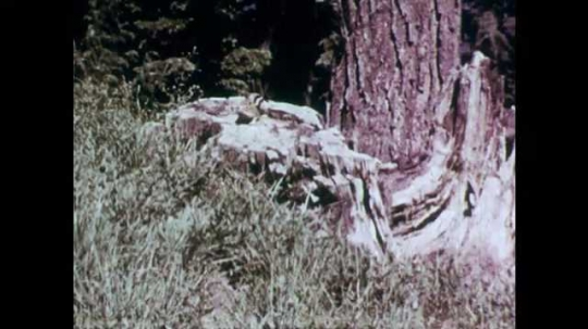 1950s: Squirrel eats nut on tree stump. Squirrel nibbles on peanut.