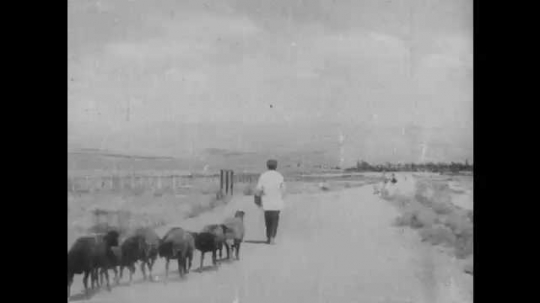 1940s: CAUCASUS, EUROPE: shepherd walks with sheep in Armenia. Shepherd walks along dust track. Sheep wag tags