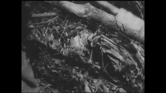 1930s: UNITED STATES: close up of wood being chopped with axe. Men make stretcher from wood in trees. Men tie fabric into stretcher