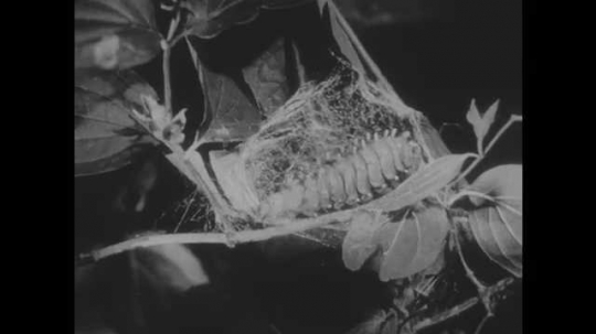 1940s: Caterpillar wraps itself in cocoon on branch.