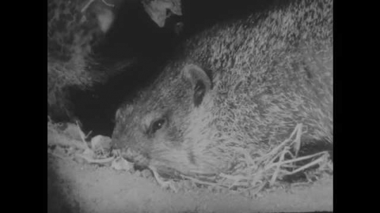 1940s: Badger is laying down. Rabbit sits up looking around.