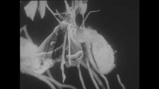 1940s: Moth on branch fans out its wings. Vivisection of cocoon with metamorphosing moth inside. Woodchuck hibernating in hole.