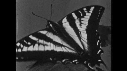 1950s: Butterfly on leaf.  Butterfly flaps wings.  Microscopic scales.