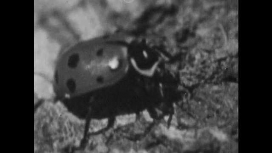 1950s: Bug walks.  Ladybug reveals second set of wings.  Drawing of an insect.