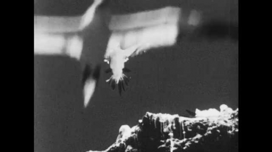 1950s: Birds hover and coast through the air.  Vulture in tree.