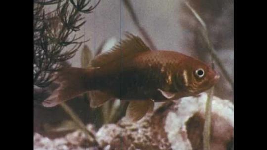 1950s: Goldfish swims. Scales on goldfish. Goldfish swims.