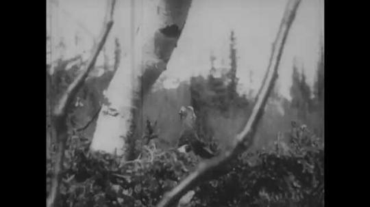 1950s: Grouse looks around. Boy looks over ridge, ducks behind ridge, puts fingers in mouth.