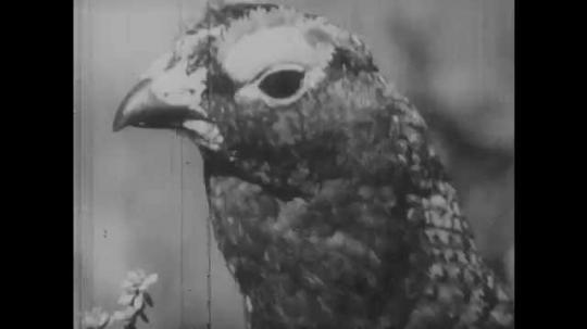 1950s: Grouse looks around. Boy loads arrow into crossbow. Boy sees bear, runs away. Bear bites tree branch, shakes tree.