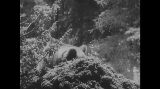 1950s: Bear walks through forest. Boy and dog run over to man kneeling outside, man stands up. Man and dog walk through woods. Bear looks around.