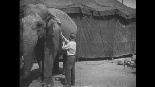 1950s: UNITED STATES: man cleans elephant with big brush. Elephant lies on ground.