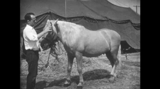 1950s: UNITED STATES: trainer brushes horse mane. Man puts blanket on horse. Horse in show blanket