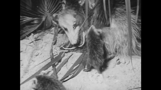 1940s: Baby opossums climb onto mother opossums back. Opossum sits in tree, tail curled around branch, yawns.