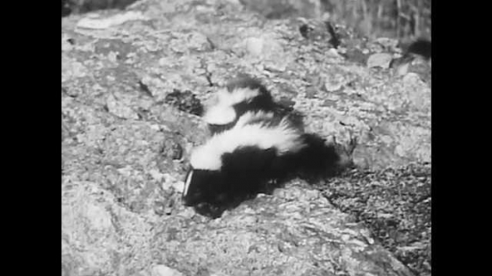 1940s: Two baby skunks slowly crawl down steep rock. Mother skunk carries baby skunk in mouth, other babies follow behind.
