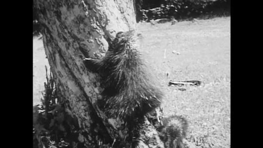 1940s: Mother and baby porcupine climb up tree trunk.