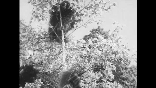 1940s: Porcupine climbs up to top of tree, reaches for leaves. Porcupine gnaws branch off tree, eats leaves.
