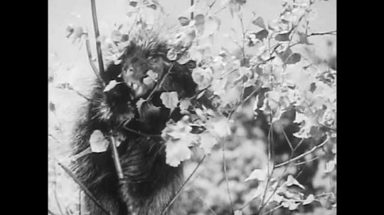 1940s: Baby porcupine sits in tree, looks around. Adult porcupine gnaws branch off tree, eats leaves.