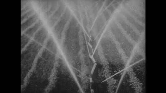 1930s: Water sprinklers irrigate field. Tractor plows up sugar beets on field. Croppers pick sugar beets on plowed field, slash crop from leaves.