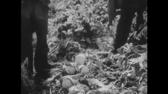1930s: Croppers harvest sugar beets, slash leaves from crop. Croppers throw sugar beets onto truck, truck drives off field.