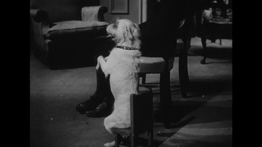 UNITED STATES: 1940s: dog begs. Man sets up Projector screen movie.