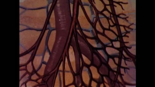 United States: 1960s: illustration of blood vessels around heart. Section through heart drawing. Arrows of blood flow in heart.