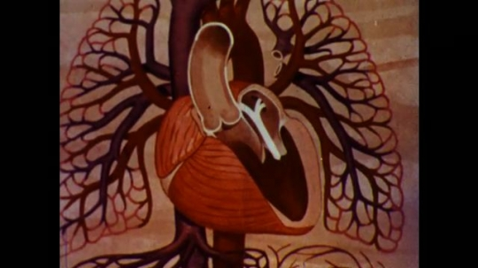 United States: 1960s: painting shows blood flow through heart chambers. Atrium labelled on picture of heart. Label for ventricles of heart.