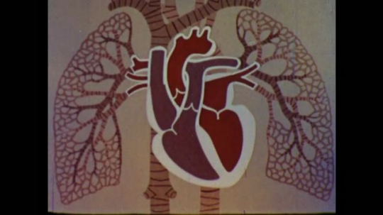 United States: 1960s: drawing shows left and right sides of heart.