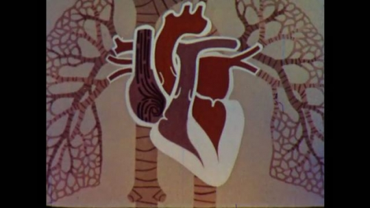 United States: 1960s: animation shows chambers of heart filling with blood.