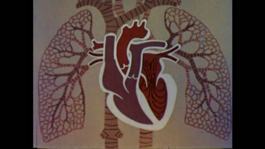 United States: 1960s: animation of blood flow through heart valves. Aorta label on animation. Mixing of blood in heart.