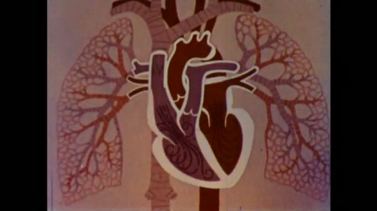 United States: 1960s: fast animation of heart pumping blood. Boys wrestle in garden.