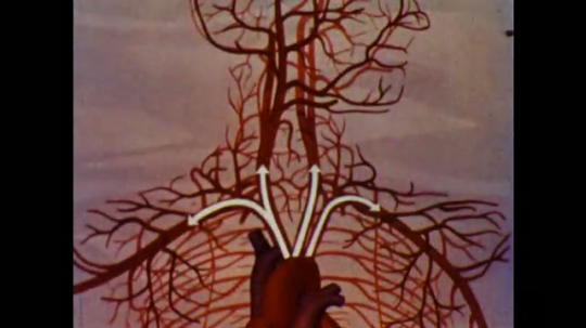 United States: 1960s: arrows show blood flow through vessels of heart.