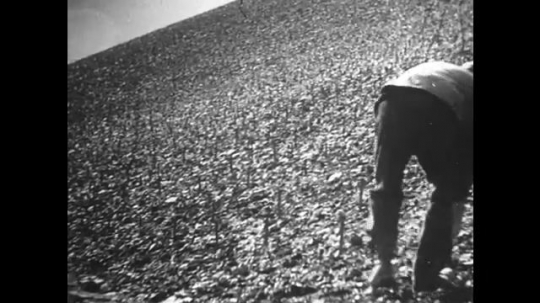 GERMANY: 1920s: men plants grape vines on hill slope. Man pushes stake into ground