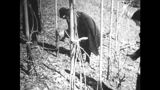 GERMANY: 1920s: women shape grape vines on hill slope vineyard.