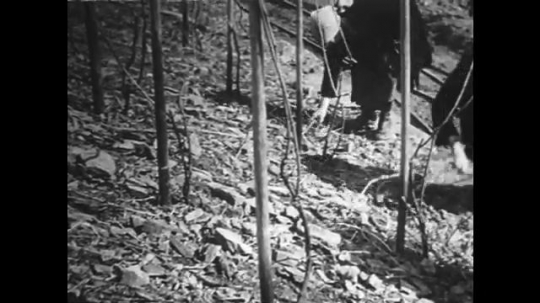 GERMANY: 1920s: ladies clear away pruned branches on vineyard.