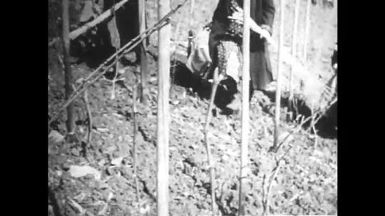 GERMANY: 1920s: women attach grape vines to wooden posts.