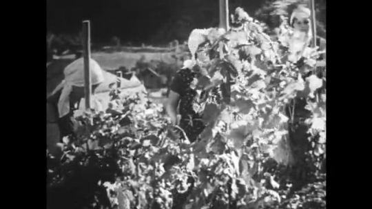 GERMANY: 1920s: women tidy up branches on grape vines.