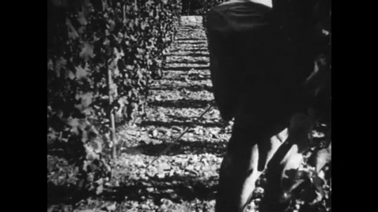GERMANY: 1920s: view through vines. Man sprays pesticides on grapes.