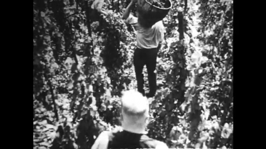 GERMANY: 1920s: men collect cut grapes in wooden barrels and carry them down hill. Band plays in vineyard.