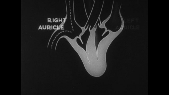 United States, 1930s: animation of beating heart shows left and right auricles. Left and right ventricle labelled on heart