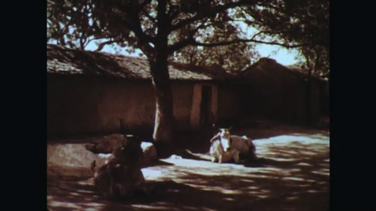 INDIA: 1960s: Cow rests under shady tree. People gather water from well. Man spits water into well.