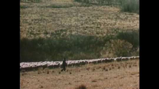 United States: 1950s: men move sheep in field. Truck drives along road. Met packaged and processed in factory. Chef in kitchen.