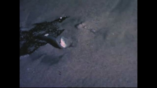 UNITED STATES 1950s: Grunion fish laying eggs on beach.