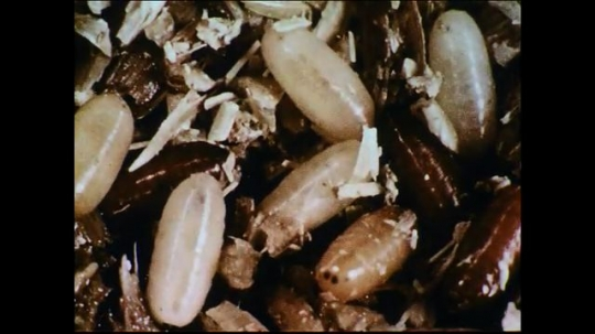 UNITED STATES 1950s: The color of the pupae gets darker as they transform into flies.