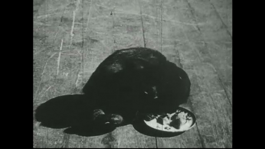 UNITED STATES 1940s: Spider monkey eats fruit from plate.