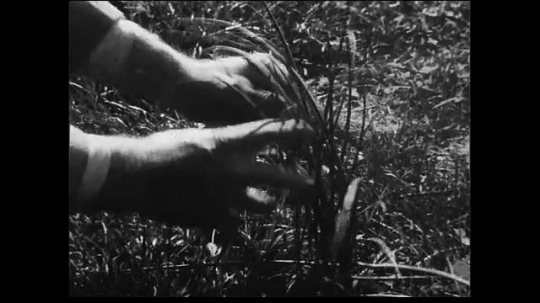 UNITED STATES 1930s: Close up of hands fondling and exhibiting grass for display. Medium wide shot of flora being blown in field.