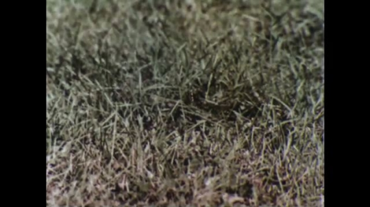 UNITED STATES, 1956: Chipmunk eats and searches through field.