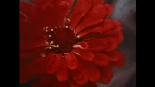 UNITED STATES: 1950s: flowers blow in wind. Rain drops on petals.