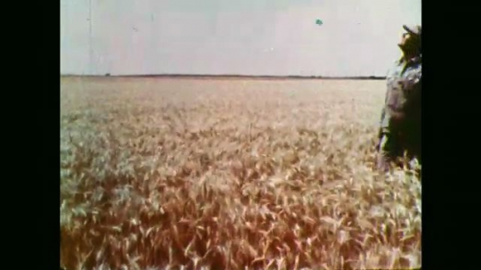 1950s: Man walks through field. Long shot, combine in field. Close up of wheat.