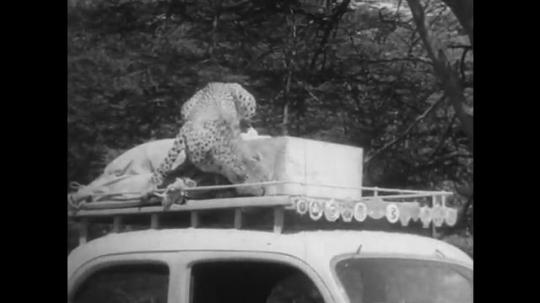 AFRICA: 1930s: leopard walks under tree. Cheetah sits on top of expedition truck.