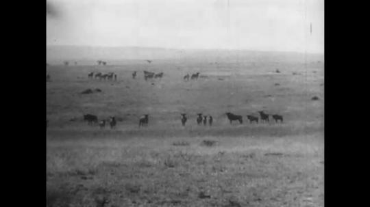 AFRICA: 1930s: bison herd run across savannah