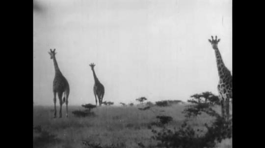 AFRICA: 1930s: giraffe walk across landscape. Giraffe runs. Man walks towards herd of giraffes.